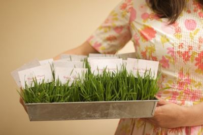 GrowingWheatgrass3